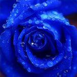 Rose_blau